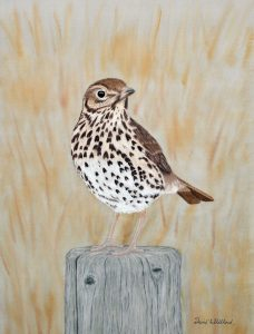 For sale, Song Thrush (Limited edition print)